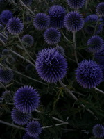Distel mit Blueten